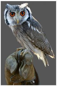 63 Hermione's Owl Orange